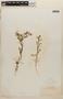 Rorippa Scop., Mexico, E. Palmer 386, F