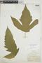 Tectaria trifoliata image