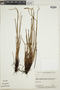 Actinostachys pennula image