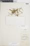 Asplenium triphyllum image