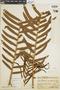 Blechnum magellanicum image