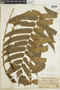 Blechnum cordatum image