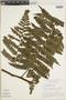 Cyathea multiflora image