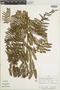 Dennstaedtia dissecta image