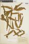 Dicranopteris pectinata image