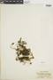 Hymenophyllum dicranotrichum image