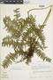 Lindsaea coarctata image