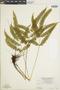 Lindsaea cultriformis image