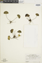 Lindsaea cyclophylla image