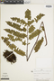 Lindsaea divaricata image