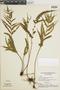 Lindsaea javitensis image