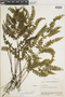 Lindsaea klotzschiana image