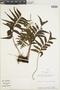 Lindsaea latifrons image