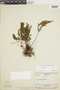Lindsaea parkeri image