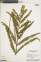 Lindsaea portoricensis image