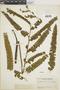 Lindsaea rigidiuscula image