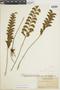 Lindsaea schomburgkii image