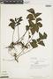 Lindsaea ulei image