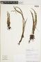 Micropolypodium caucanum image