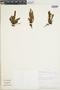 Micropolypodium truncicola image