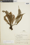 Lellingeria apiculata image