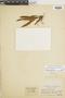 Pleopeltis macrocarpa image