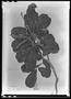 Field Museum photo negatives collection; Paris specimen of Clethra scabra Pers., BRAZIL, Vardille, Type [status unknown], P