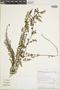 Jamesonia cheilanthoides image