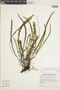 Jamesonia flabellata image