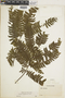 Adiantum tetraphyllum image
