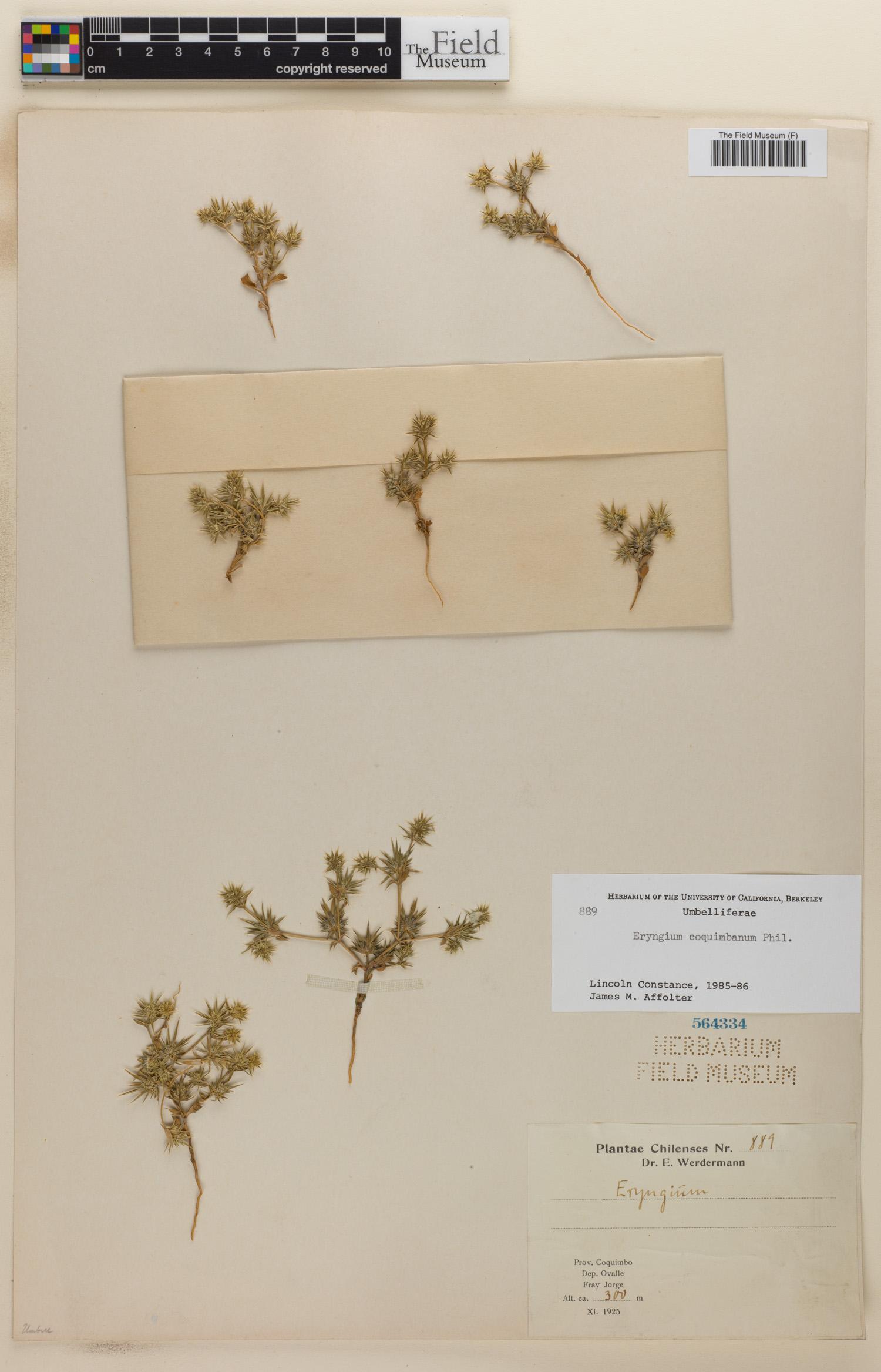 Eryngium coquimbanum image