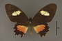 95235 Papilio tonila HT d IN