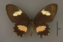 95235 Papilio tonila HT v IN