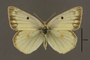 95247 Colias christina HT d IN