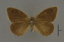 95305 Cosmosatyrus chiliensis PT d IN