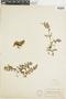 Myriopteris cooperae image