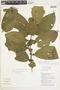 Clidemia heterophylla (Desr.) Gleason, ECUADOR, F