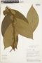 Clidemia heterophylla (Desr.) Gleason, PERU, F