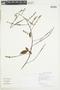 Paullinia tricornis Radlk., GUYANA, F