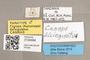 3130484 Conops bicingulatus PT labels IN