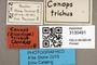 3130491 Conops trichus HT labels IN