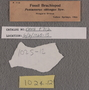 IMLS Silurian Reef Digitization Project, Image of a Silurian brachiopod label P 712