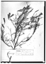 Porophyllum angustissimum image