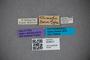 3048411 Calocerus klimschi HT labels IN