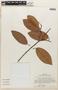 Pakaraimaea dipterocarpacea subsp. nitida Maguire & Steyerm., VENEZUELA, F