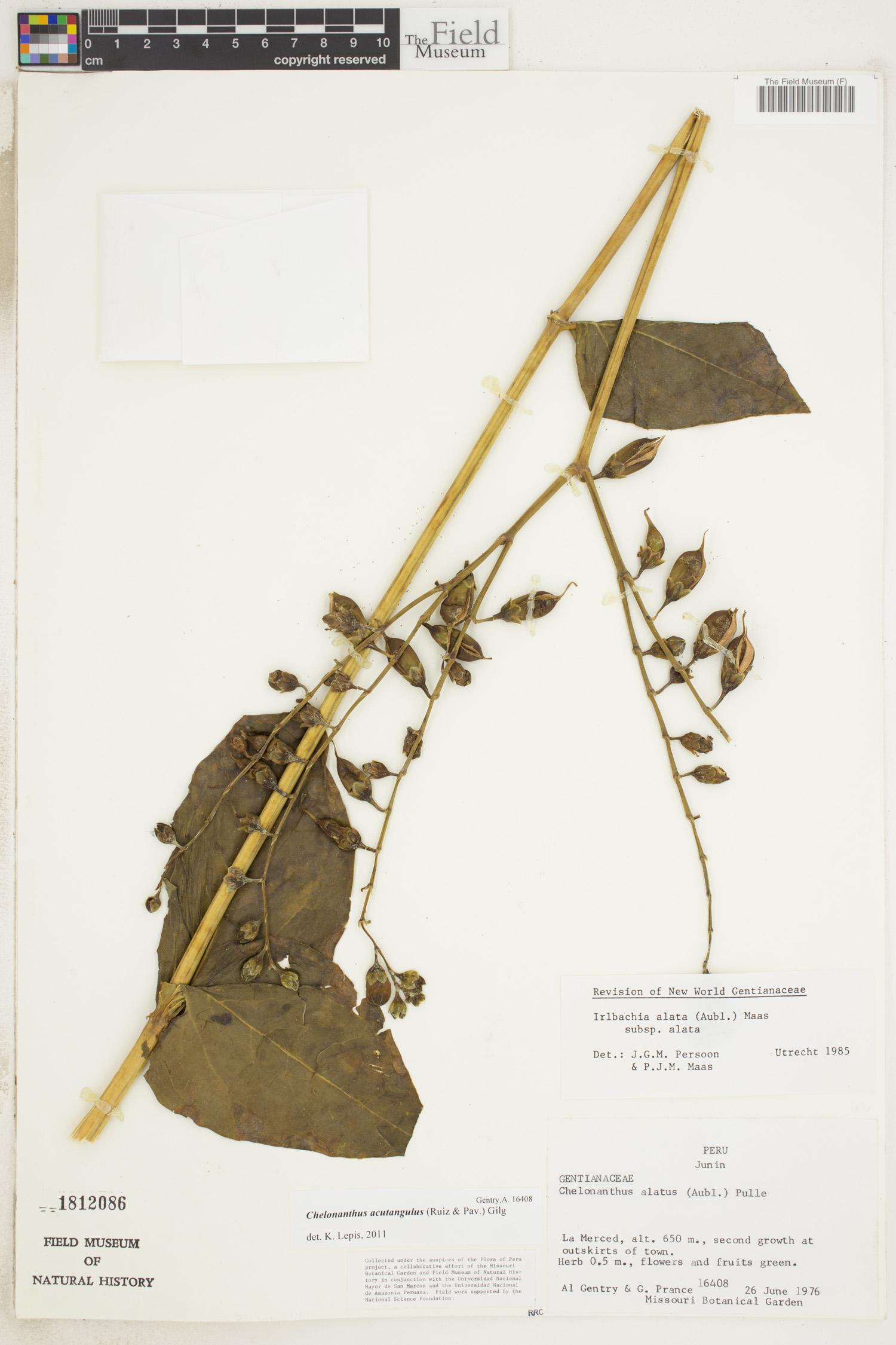 Irlbachia alata image