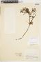 Geranium sibbaldioides image