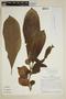 Drymonia hoppii (Mansf.) Wiehler, Peru, J. Schunke Vigo 4678, F