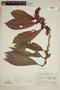 Drymonia anisophylla L. E. Skog & L. P. Kvist, Colombia, R. E. Schultes 3738, F