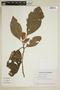 Drymonia hoppii (Mansf.) Wiehler, Ecuador, G. W. Harling 19780, F